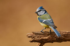Eurasian blue tit Stock Photography