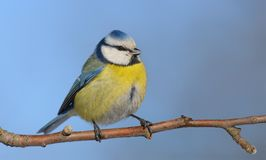 Eurasian blue tit perched on small branch at frosty day stock images