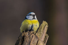 Eurasian blue tit perched on a stump. Image of Eurasian blue tit (Parus caeruleus) sitting on a dry tree stump in winter forest near Kiev Royalty Free Stock Photo
