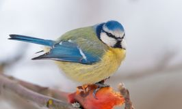 Eurasian blue tit sits on top of an apple in winter feeding time royalty free stock images