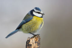 Eurasian blue tit. In profile Royalty Free Stock Images