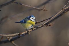 The Eurasian blue tit sits on a branch between the apple buds.