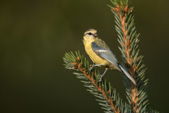 Eurasian blue tit. Sitting on a branch Royalty Free Stock Photo