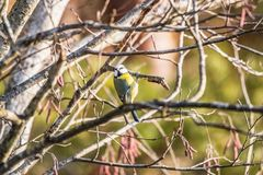 Eurasian blue tit sitting on a branch royalty free stock images