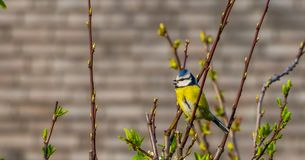 Eurasian blue tit sitting on a tree branch, common wild bird from Eurasia. A eurasian blue tit sitting on a tree branch, common wild bird from Eurasia royalty free stock photo
