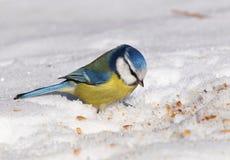 Eurasian blue tit on snow Stock Photo