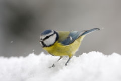 Eurasian blue tit in the snow, Vosges, France Stock Image
