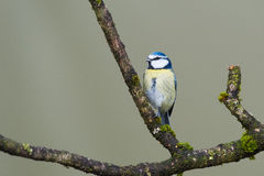 Eurasian Blue Tit Royalty Free Stock Photo