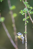Eurasian blue tit in tree Stock Photo