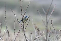 Eurasian blue tit, wild bird looking for food in winter. royalty free stock image