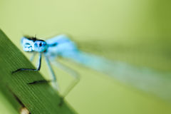 Eurasian Bluet Stock Photos