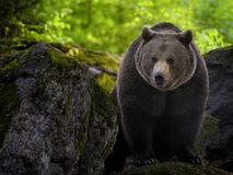 Eurasian brown bear Stock Photography