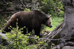 Eurasian brown bear stock photos