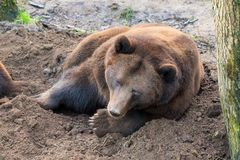 The Eurasian brown bear Royalty Free Stock Image