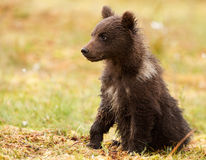 Eurasian brown bear cub (Ursus arctos arctos). Alerted Eurasian brown bear (Ursus arctos arctos) cub Royalty Free Stock Images