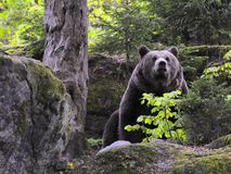 Eurasian brown bear in forest Royalty Free Stock Photography