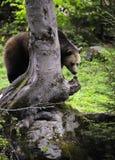 Eurasian brown bear in forest Stock Photo