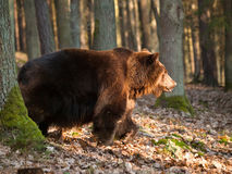Eurasian brown bear in forest in Czech republic - Ursus arctos Stock Photography