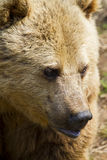 Eurasian Brown Bear. Looking for food Royalty Free Stock Image