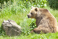 Eurasian Brown Bear Royalty Free Stock Photography