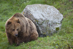Eurasian Brown Bear Stock Image