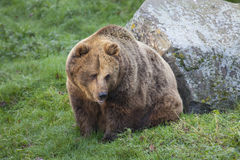 Eurasian Brown Bear Royalty Free Stock Image