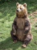 Eurasian Brown Bear Royalty Free Stock Images