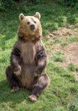 Eurasian Brown Bear Royalty Free Stock Photography