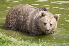 Eurasian Brown Bear Stock Photos
