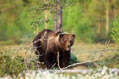 Eurasian brown bear in taiga with green background. The Eurasian brown bear (Ursus arctos arctos)  the common brown or  the European brown bear, the Stock Photography