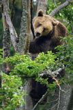 Eurasian brown bear in tree Stock Photos