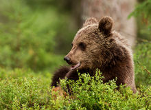 Eurasian brown bear (Ursos arctos) cub Stock Photos