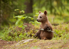 Eurasian brown bear (Ursos arctos) cub Stock Image