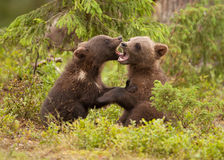 Eurasian brown bear (Ursos arctos) cubs Stock Photo