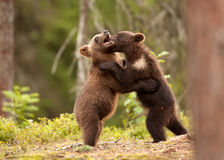 Eurasian brown bear (Ursos arctos) cubs Stock Photos