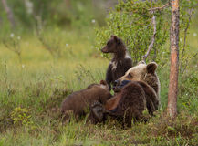 Eurasian brown bear (Ursos arctos) with cubs Royalty Free Stock Photo