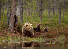Eurasian brown bear (Ursos arctos) with cubs Royalty Free Stock Image