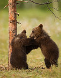 Eurasian brown bear (Ursos arctos) cubs Royalty Free Stock Photos