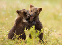 Eurasian brown bear (Ursos arctos) cubs Stock Image
