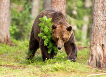 Eurasian brown bear (Ursos arctos) Royalty Free Stock Photos