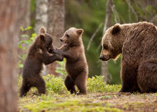 Eurasian brown bear Ursos arctos, female and cubs. Eurasian brown bear mum and her playful cubs at the edge of a boreal forest, Finland Royalty Free Stock Photography