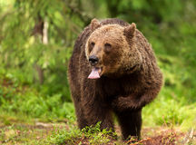 Eurasian brown bear (Ursos arctos) Royalty Free Stock Photography