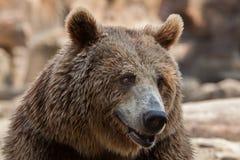 Eurasian brown bear Ursus arctos arctos Royalty Free Stock Photography