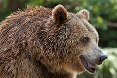Eurasian brown bear Ursus arctos arctos. Also known as the European brown bear stock photos