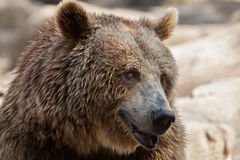 Eurasian brown bear Ursus arctos arctos. Also known as the European brown bear Stock Images