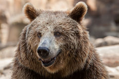 Eurasian brown bear Ursus arctos arctos. Also known as the European brown bear Royalty Free Stock Images
