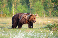 Eurasian brown bear (Ursus arctos arctos);. The Eurasian brown bear (Ursus arctos arctos) , the common brown or  the European brown Stock Image