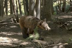 Eurasian brown bear Ursus arctos in the forest Stock Photo