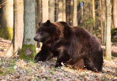 Eurasian brown bear walk in forest - Ursus arctos Royalty Free Stock Photography