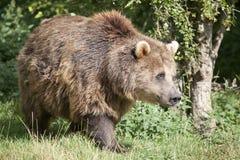 Eurasian Brown Bear Royalty Free Stock Photos